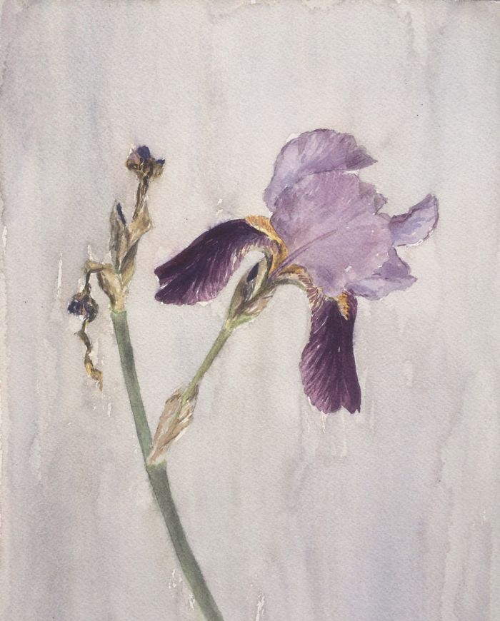 Bearded Iris, Watercolor.