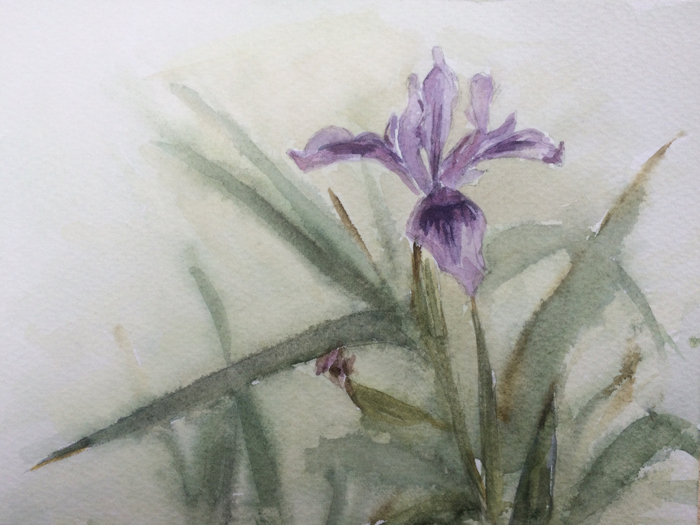 Douglas Iris, Watercolor.