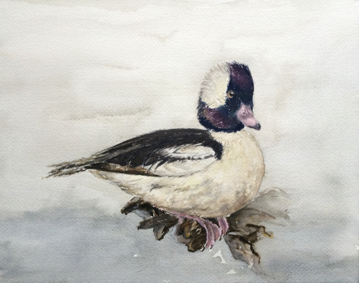 Bufflehead. 9 x 12 in, Watercolor.