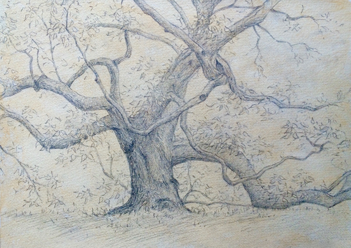 Catalpa Tree. 9 x 12 in, Graphite on Paper.