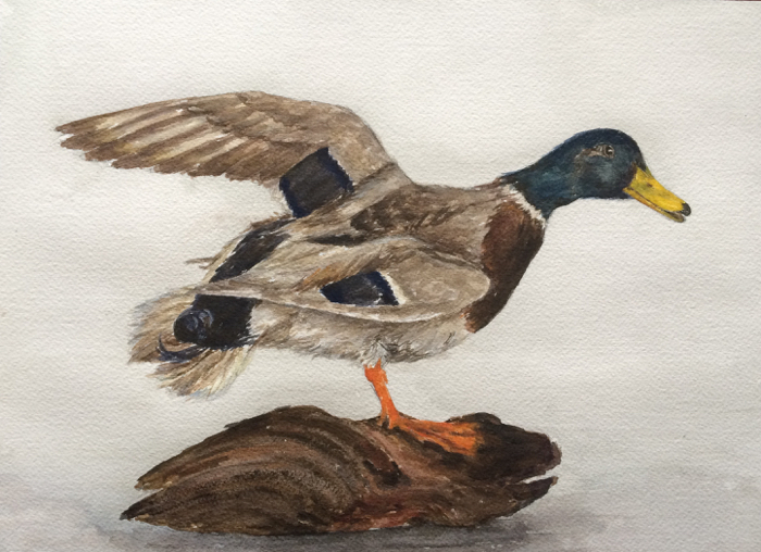 The Mallard. 9 x 12 in, Watercolor.
