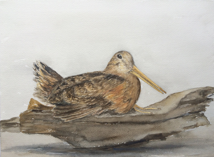 Woodcock. 9 x 12 in, Watercolor.