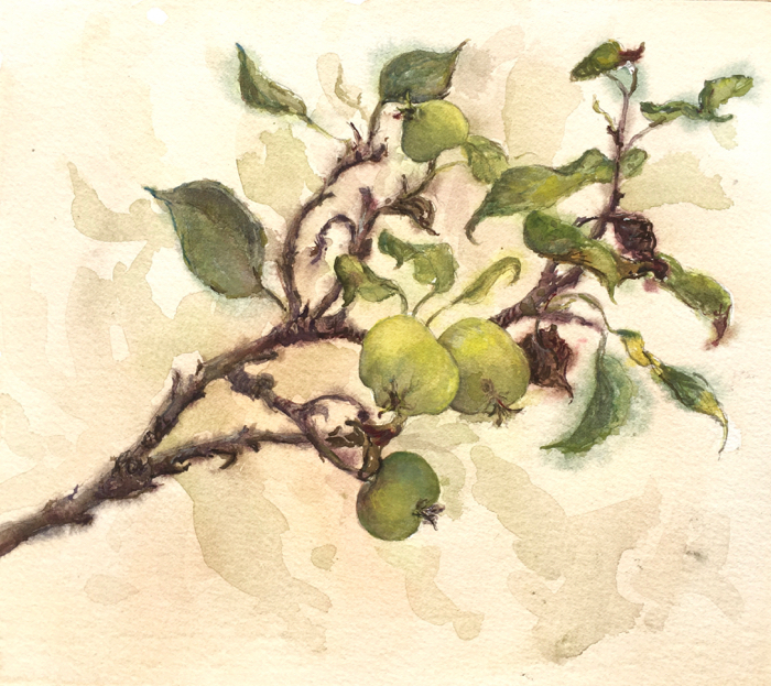 Young Apples. 22 x 25 cm, Watercolor.