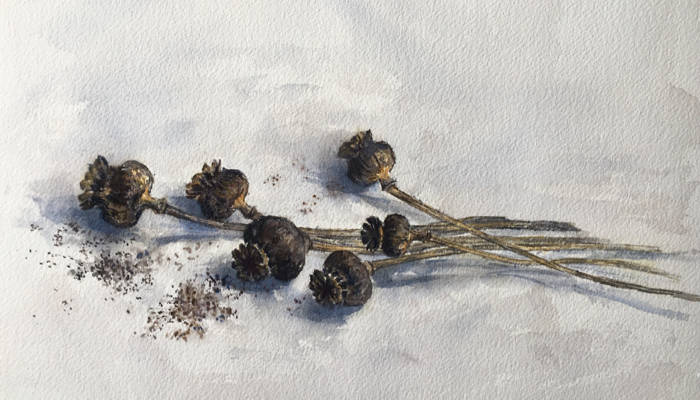 Dried Poppy Pods. 10 x 14 in, Watercolor.